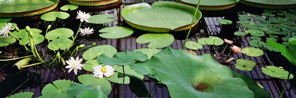 Water Lilies & Aquatic Plants
